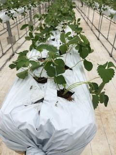 ④いちご苗の植え付け直後